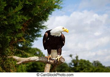 bald eagle bird of prey. national symbol of america. endangered wildlife