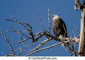 Bald Eagle Calling Out While Perched High in the Winter Tree