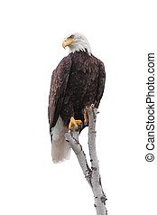 Bald Eagle Clutches to the Top of a White Birch Tree - A...
