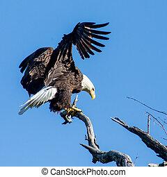 Bald Eagle - Eagle landing on a dead branch in Arkansas
