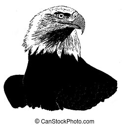 Bald Eagle - Haliaeetus leucocephalus - adult