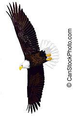 Bald Eagle - Haliaeetus leucocephalus - adult