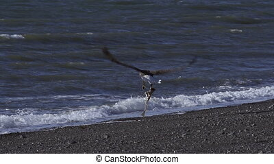 Bald Eagle Flies Away with Fish - A bald eagle takes off...