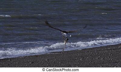 Bald Eagle Flies Away with Fish