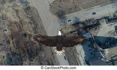Bald Eagle Flies Cver the City - Animation of a flight of a ...