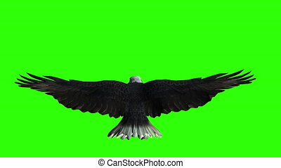 Bald eagle flies on a Green Screen. Back view.