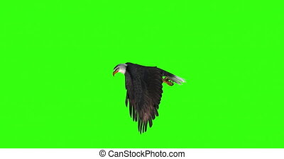 Bald eagle flies on a Green Screen. Left view.