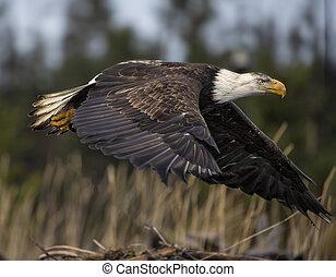 Bald Eagle flying low - Bald Eagle in flight
