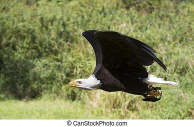 Bald eagle flying.