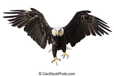 Flying eagle with flag freedom bald eagle flying in front bald eagle flying with american flag altavistaventures Images