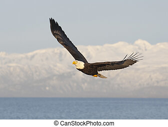 Bald eagle flying with blue sky over the bay at Homer Alaska...