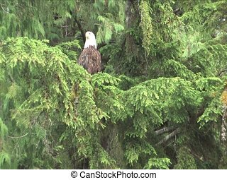 Bald Eagle flys away from Cedar tree