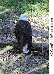 Bald Eagle (Haliaeetus leucocephalu