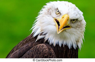 Bald eagle (Haliaeetus leucocephalus) Close-up