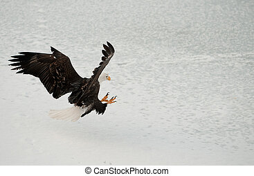 Bald Eagle ( Haliaeetus leucocephalus ) Landed