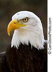 bald eagle haliaeetus leucocephalus - Portrait of a bald...