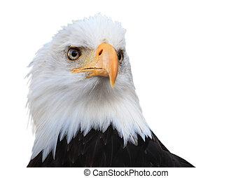 Bald eagle (Haliaeetus leucocephalus) isolated on white.