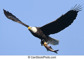 Bald Eagle (haliaeetus leucocephalus) - Adult Bald Eagle...