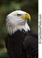 Bald Eagle (Haliaeetus leucocephalus) the United States...