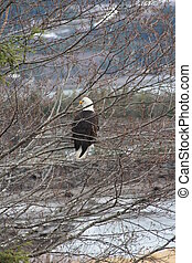Bald Eagle in Alaska - A mature bald eagle sits in a tree in...