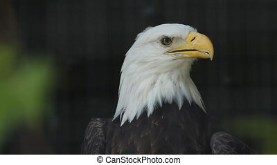 Bald eagle in cage.