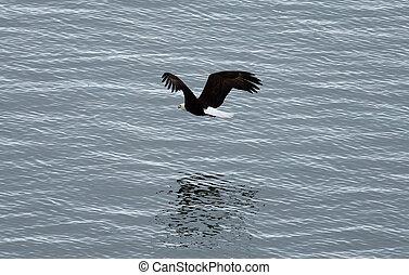 Bald Eagle In Flight Above Sea