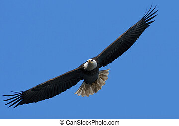 Bald Eagle In Flight - The national bird of the United...