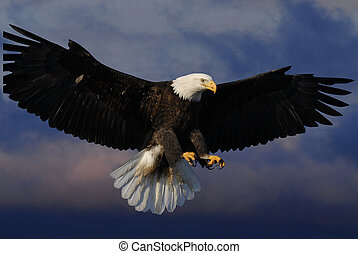 Bald Eagle in skies - Bald Eagle with background of sky ...