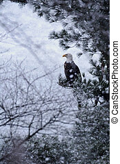 Bald Eagle in Snow Storm