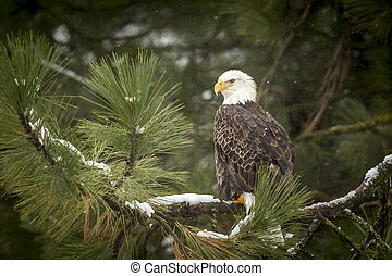Bald eagle in snowy tree.