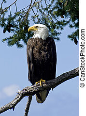 Bald Eagle in the Wild - A wild parent Bald Eagle watching...