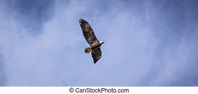 Bald Eagle in the Wild