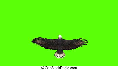 Bald Eagle in Top View on a Green Screen - Animation of a ...