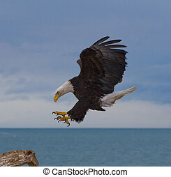 Bald Eagle Landing - Photo of a bald eagle about to land on...