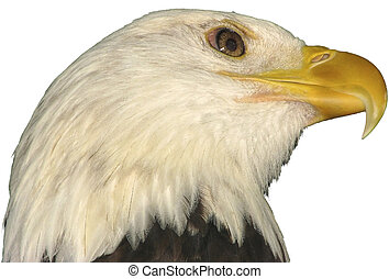 Bald eagle national bird of the USA on a white background.