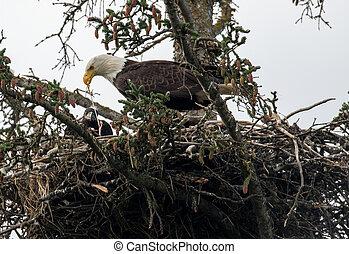 Bald eagle nest in Alaska