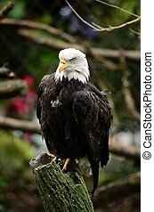 Bald Eagle on a Stump