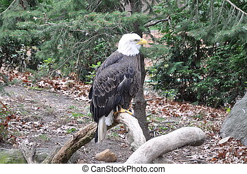 Bald Eagle on a tree