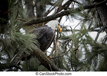 Bald eagle on branch in a tree.