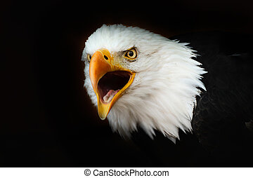Bald eagle on the black wallpaper with open beak