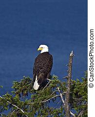 Bald Eagle on Treetop