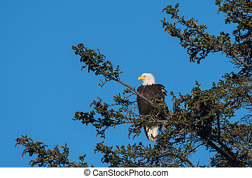 Bald eagle perched in tree