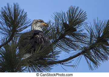 Bald eagle perched on a branch.