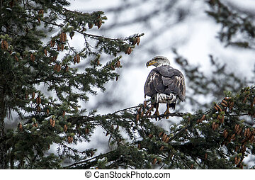 Bald eagle perches on a branch.
