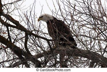 Bald Eagle.  Photo taken at Lower Klamath National Wildlife Refuge, CA.