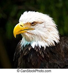 Bald eagle - Portrait of a bald eagle (lat. haliaeetus...