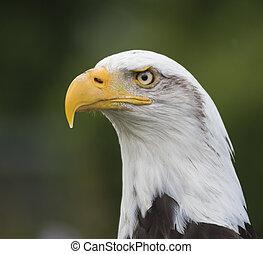 bald eagle portrait 2