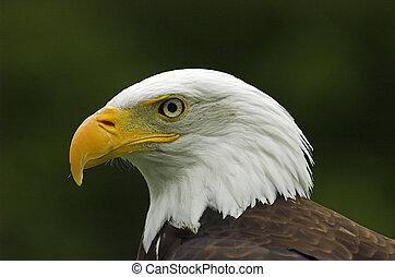 Bald Eagle Profile headshot