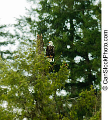 Bald Eagle sitting in a tree