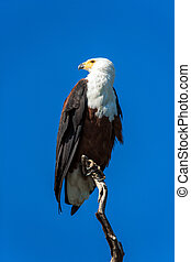 Bald eagle sitting on a dry tree